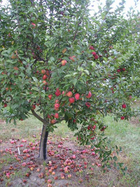 Century Farm Orchards Apple Tree Nursery
